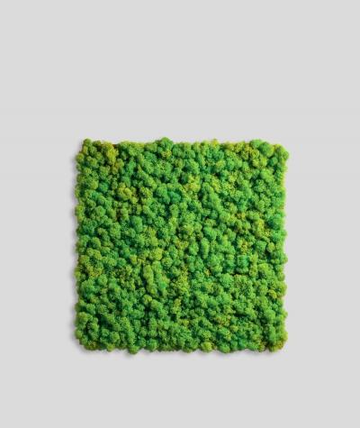 Chrobotek, mech reniferowy islandzki (003 wiosenna zieleń) - basic