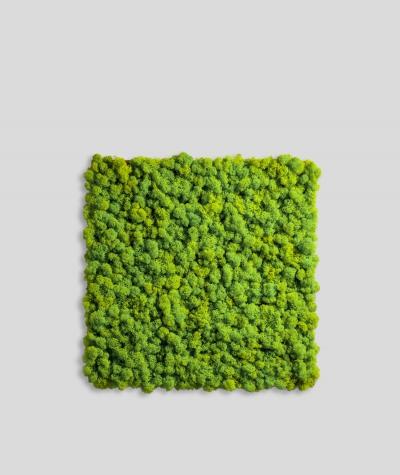 Chrobotek, mech reniferowy islandzki (002 jabłkowa zieleń) - basic