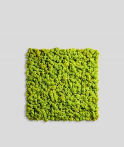 Chrobotek, mech reniferowy islandzki (001 wasabi) - basic